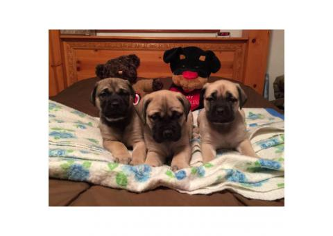 Beautiful AKC English mastiff puppies for sale