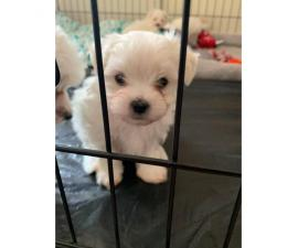 2 clean & friendly females purebred Maltese puppies looking for a new home