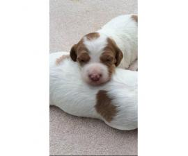 8 Brittany pups for sale
