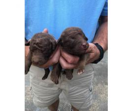Registered Chesapeake bay retriever puppies for sale