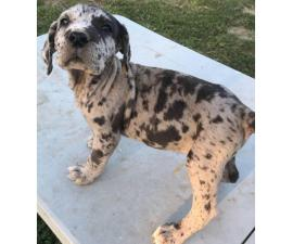 9 Beautiful Daniff Puppies For Sale