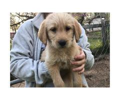 7 weeks old Labradoodle puppies $500