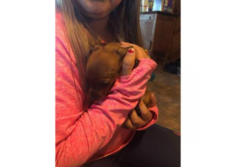 Chiweenies for sale - 3 puppies left