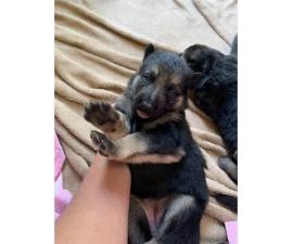 1 male and 7 female German shepherd puppies available