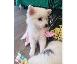 5 American Eskimo available