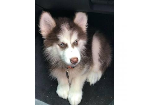 Purebred siberian husky puppy for sale with papers, utd on shots, and microchipped