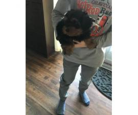 4 months old Male Yorkie Pup for sale