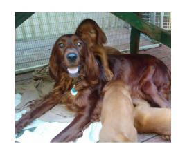 5 beautiful Irish setter puppies for sale