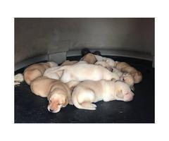 Yellow Labrador retriever puppies available