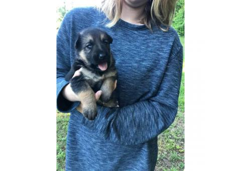 German Shepherd puppies will be ready after May 17th