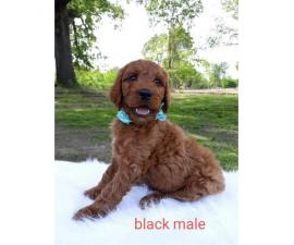 Beautiful Boys & Girls Irishdoodle puppies