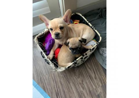 6 months old Frenchie for Sale