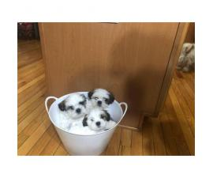 Pure bred Shih-Tzu puppies (3 boy, 2 girls)