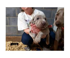 8 Weimaraner Puppies available for sale
