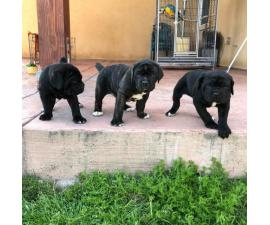 3 female cane corso ready for rehoming by mid april 2019