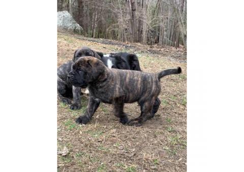 Four English Mastiff Females Puppies left