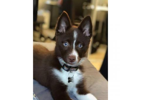 5 MONTH OLD POMSKY FOR SALE SMART AND BEAUTIFUL
