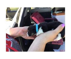 Tri color Pembroke welsh corgi puppies