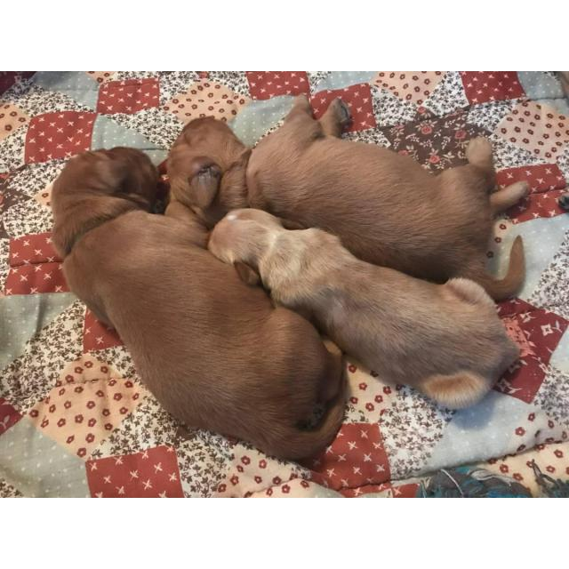 3 females & 2 males red golden retriever puppies for sale in