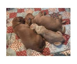 3 females & 2 males red golden retriever puppies for sale