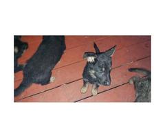 5 Males German Shepherd Puppies for sale