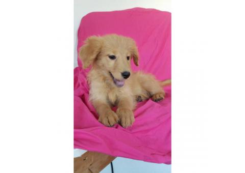 one male and one female goldendoodle available