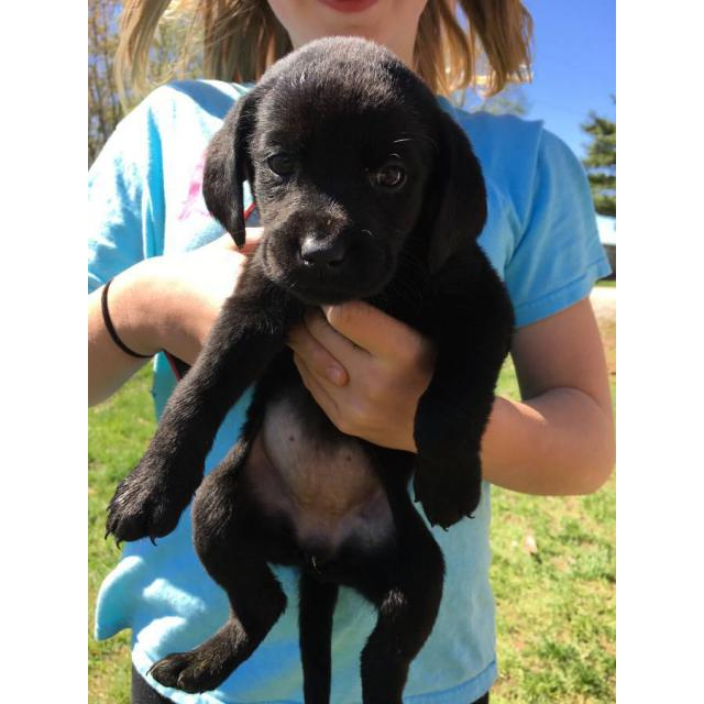 For Sale By Owner Colorado >> 4 full blooded black lab puppies for sale in Carthage , Illinois - Puppies for Sale Near Me