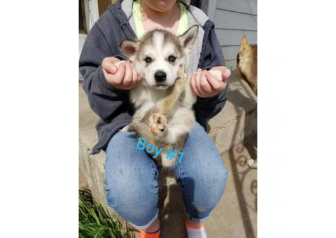 1 female and 4 males husky puppies available
