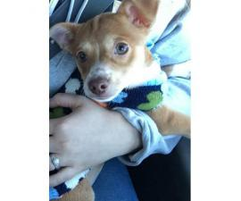 Very healthy happy Chihuahua puppy for sale