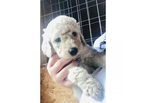 Standard Poodle Pets for sale