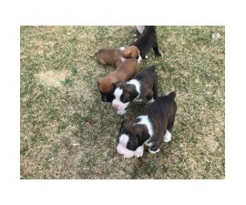 AKC registered boxer puppies still available