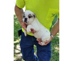12 weeks old English Bulldog puppies AKC