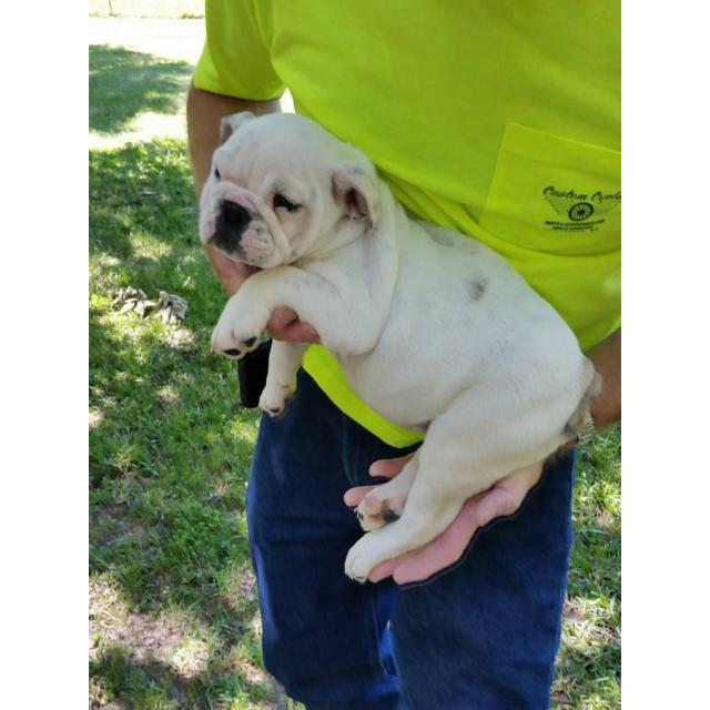 12 Weeks Old English Bulldog Puppies Akc In Laurel Mississippi Puppies For Sale Near Me