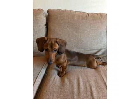 Sweet Male Dachshund Puppy For Sale