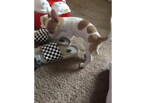3 months old chihuahua pups for sale