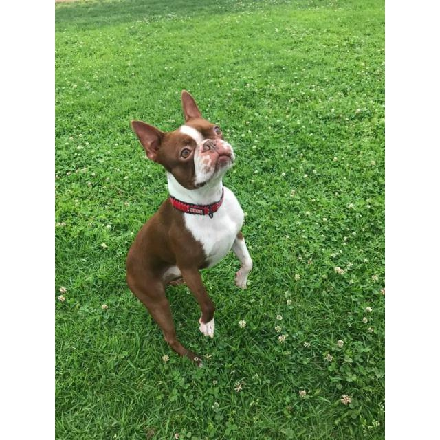 Gorgeous Red Boston Terrier Puppies Looking For New Homes