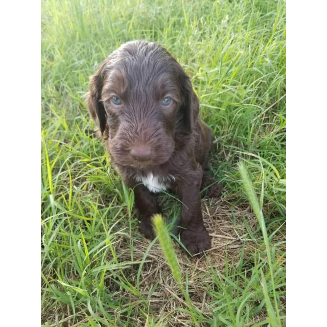 Double Doodle Puppies Available In Valdosta Georgia