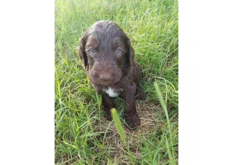 Double doodle puppies available