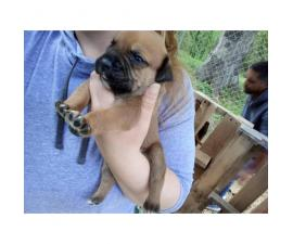 2 bully puppies left