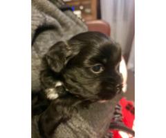 Hypoallergenic Shorkie Puppies for sale