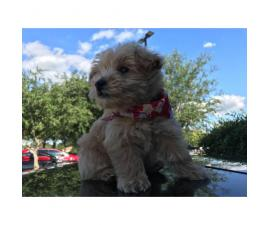 Sweet adorable westipoo puppy for sale