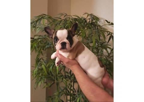 AKC Pied french bulldog female puppy for sale