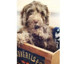 14 weeks old Cockapoo male puppy for sale