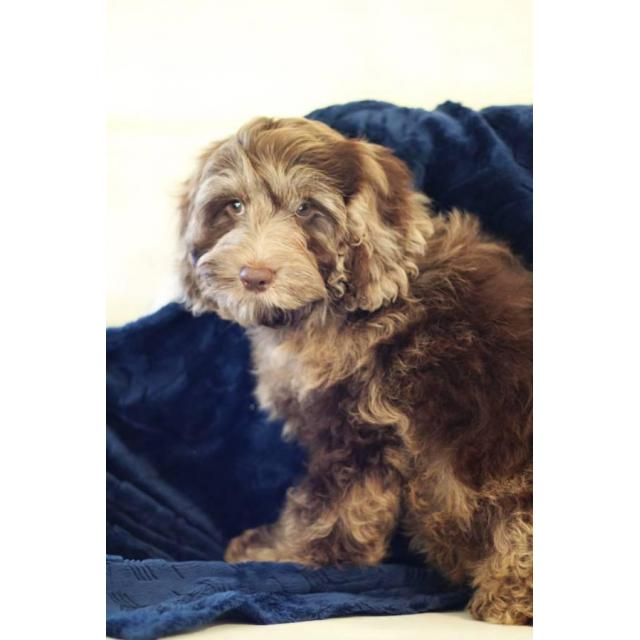 14 Weeks Old Cockapoo Male Puppy For Sale In Eagleville Missouri Puppies For Sale Near Me