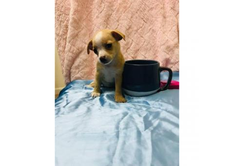 3 Tiny chihuahua puppies available