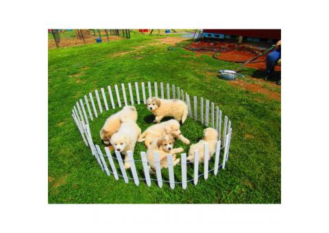 6 AKC Registered Great Pyrenees puppies