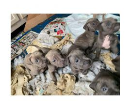 4 beautiful pit puppies left