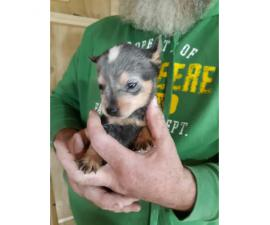 Australian Blue Heeler puppy up for rehoming