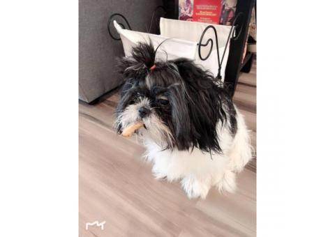 One yr old Purebred shih tzu puppy for sale