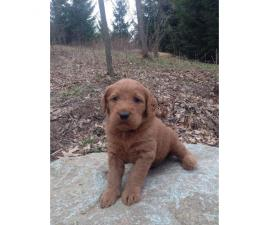 Beautiful low to non shedding Labradoodle puppies
